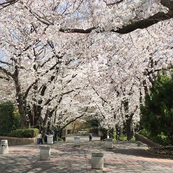 ホテル周辺では、美しい桜を楽しめるスポットがたくさん。|周辺施設|レンブラントホテル東京町田【公式】