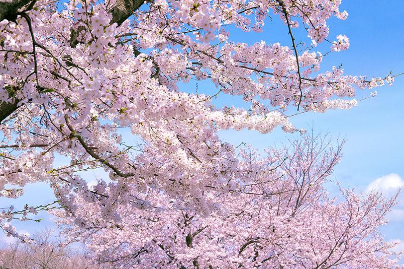 桜の成長をホテルと共に 桜の植樹付き宿泊プランを販売開始
